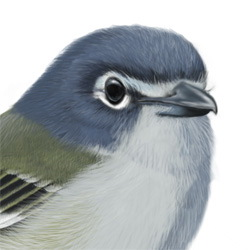 Blue-headed Vireo Head Illustration