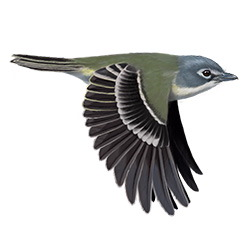 Blue-headed Vireo Flight Illustration