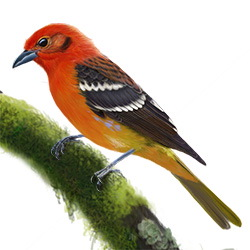 Flame-colored Tanager Body Illustration