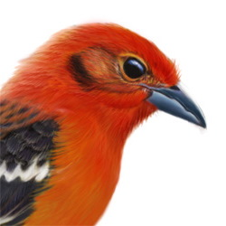 Flame-colored Tanager Head Illustration