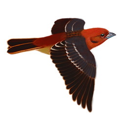 Flame-colored Tanager Flight Illustration
