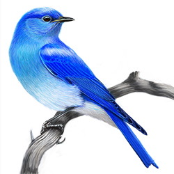 Mountain Bluebird Body Illustration