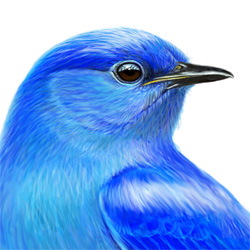 Mountain Bluebird Head Illustration