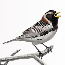 Lapland Longspur Body Illustration