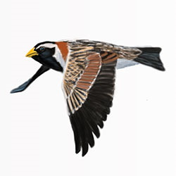 Lapland Longspur Flight Illustration