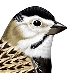 McCown's Longspur Head Illustration