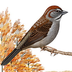Rufous-crowned Sparrow Body Illustration