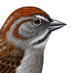 Rufous-crowned Sparrow Head Illustration