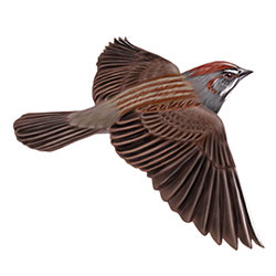 Rufous-crowned Sparrow Flight Illustration