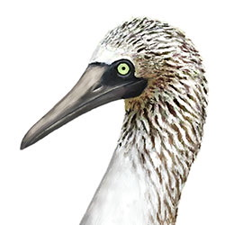 Blue-footed Booby Head Illustration
