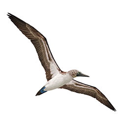 Blue-footed Booby Flight Illustration