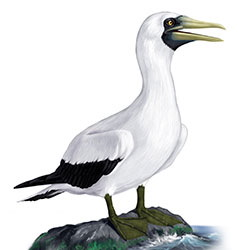 Masked Booby Body Illustration