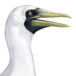 Masked Booby Head Illustration