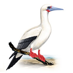 Red-footed Booby Body Illustration