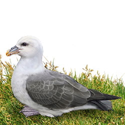 Northern Fulmar Body Illustration