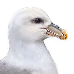 Northern Fulmar Head Illustration