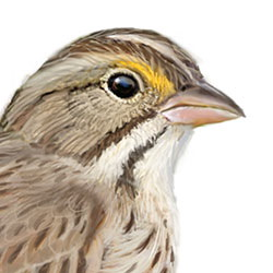 Savannah Sparrow Head Illustration.jpg