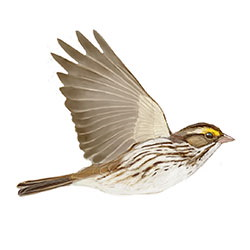 Savannah Sparrow Flight Illustration.jpg