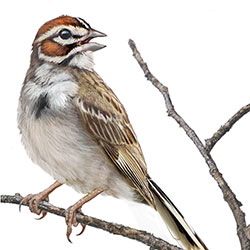 Lark Sparrow Body Illustration