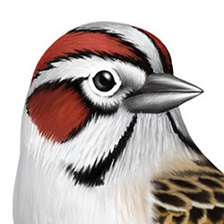 Lark Sparrow Head Illustration