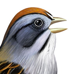 Swamp Sparrow Head Illustration