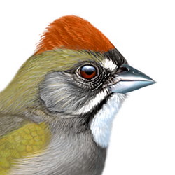 Green-tailed Towhee Head Illustration