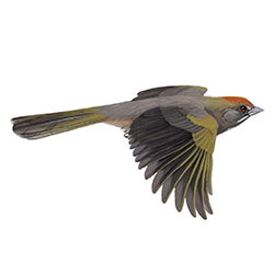 Green-tailed Towhee Flight Illustration