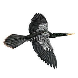 Anhinga Flight Illustration