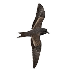 Black Storm-Petrel Body Illustration.jpg