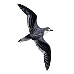 Cook's Petrel Body Illustration