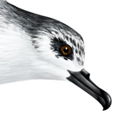 Cook's Petrel Head Illustration