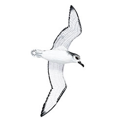Cook's Petrel Flight Illustration