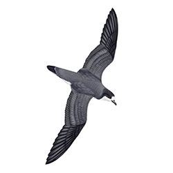Galapagos Petrel Body Illustration