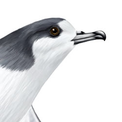 Galapagos Petrel Head Illustration