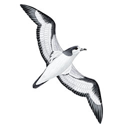 Galapagos Petrel Flight Illustration