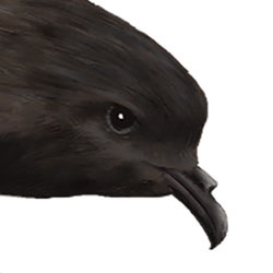 Leach's Storm-Petrel Head Illustration.jpg