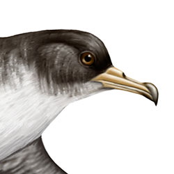 Pink-footed Shearwater Head Illustration