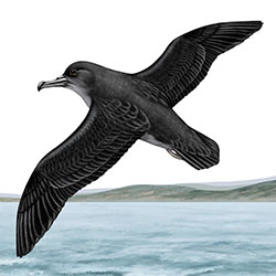 Drawing of a Sooty Shearwater