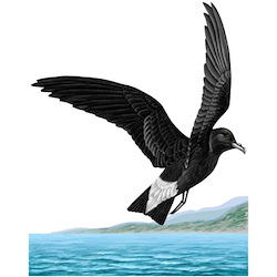 Wedge-rumped Storm-Petrel Body Illustration