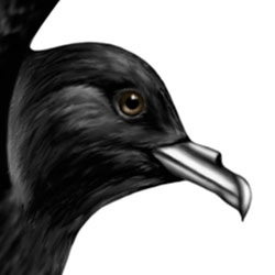 Wedge-rumped Storm-Petrel Head Illustration