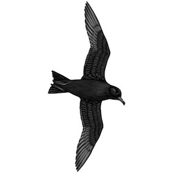 Wedge-rumped Storm-Petrel Flight Illustration