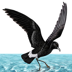 Wilson's Storm-Petrel Body Illustration