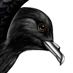 Wilson's Storm-Petrel Head Illustration