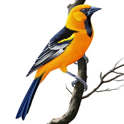 Altamira Oriole Body Illustration