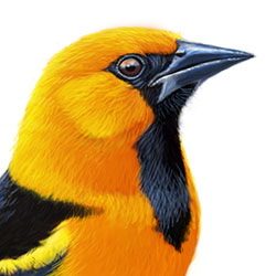 Altamira Oriole Head Illustration