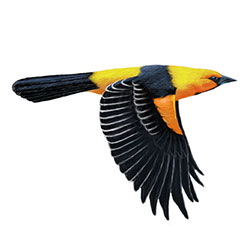 Altamira Oriole Flight Illustration