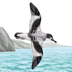 Buller's Shearwater Body Illustration