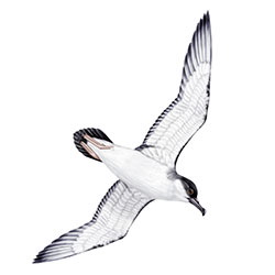 Buller's Shearwater Flight IIlustration