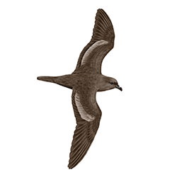 Bulwer's Petrel Flight Ilustration