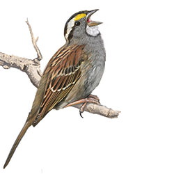 White-throated Sparrow Body Illustration.jpg